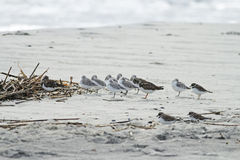 Shorebirds. On a beach in South Carolina Royalty Free Stock Images