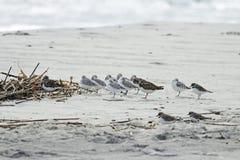 Shorebirds Royalty Free Stock Images