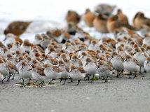 Shorebirds in a Crowd. A flock of shorebirds crowded together on the Washington coast Royalty Free Stock Images