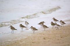 shorebirds dunlin пляжа Стоковое Фото