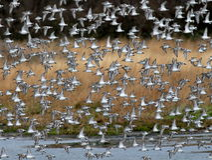 Shorebirds in Flight. A flock of shorebirds, mostly Dunlin, in flight in Western Washington Royalty Free Stock Photos