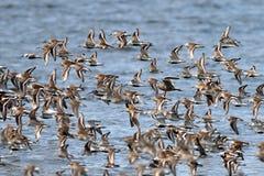 Shorebirds Flying. Shorebirds in flight on the Washington Coast Stock Image