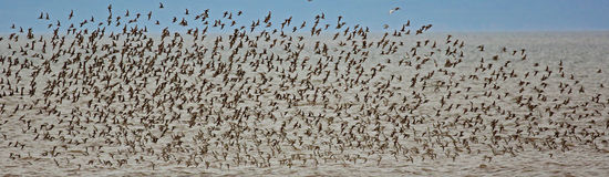 Shorebirds Flock Flight Royalty Free Stock Photography