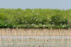 Shorebirds flying. Flock of shorebirds flying over the mangrove forest Stock Photo
