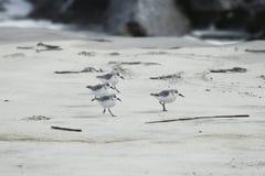 Shorebirds on the Go. Shorebirds on a beach in South Carolina Stock Photography