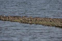 Shorebirds. A group of shorebirds near San Francisco California Royalty Free Stock Images