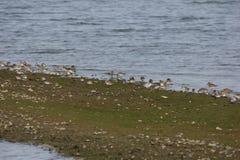 Shorebirds. A group of shorebirds near San Francisco California Royalty Free Stock Image