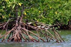 Shorebirds and mangrove. In Paknam Prasae, Rayong, Thailand Royalty Free Stock Images