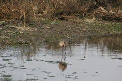 Shorebirds. Near San Francisco California Stock Photography