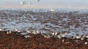 Shorebirds op een Kust in Bretagne - Hoge snelheid stock video