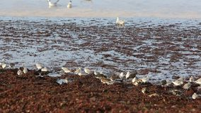 Shorebirds op een Kust in Bretagne stock footage