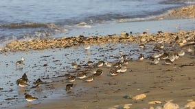 Shorebirds på en kust i Brittany lager videofilmer