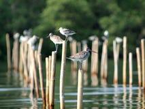 Shorebirds in Paknam Prasae Immagine Stock Libera da Diritti