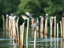 Shorebirds in Paknam Prasae Royalty Free Stock Image