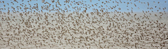 Shorebirds Pipers Plovers Flight. Flock of shorebirds (sandpipers, piping plovers) off shore in New Brunswick, Canada, during migration Stock Photo