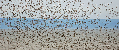 Shorebirds Plover Pipers Flock Flying Royalty Free Stock Images