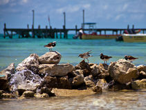 Shorebirds on the rocks - Isla Mujeres. Shorebirds on the rocks with clear turquoise water, boats and a pier in the background, with water splashing in the Royalty Free Stock Photos
