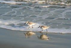 Shorebirds Sanderling в прибое океана стоковые изображения