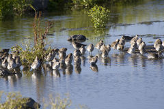 Shorebirds - Sharp-Tailed and Curlew Sandpipers Stock Photo