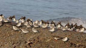Shorebirds on a Shore in Brittany stock video