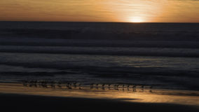 Shorebirds at Sunset. A line of shorebirds running at the water's edge at sunset Royalty Free Stock Image