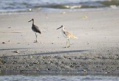 Shorebirds Willet на пляже, Hilton Head Island Стоковое Фото