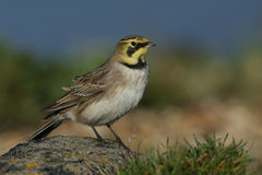A Shorelark Eremophila alpestris sitting on a rock on the shoreline. Royalty Free Stock Images
