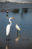 Shoreline Birds Royalty Free Stock Photos