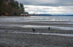 Shoreline Birds Landscape. Birds line the shore at Dash Point State Park Royalty Free Stock Image