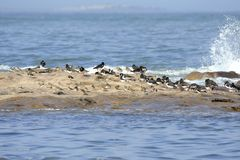 Shoreline Birds on Rocky Outcrop with Incoming Tide Royalty Free Stock Image