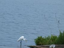 Shoreline Fishing. A great white egret fishes near the shoreline of a lake royalty free stock image