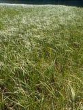 Shoreline grass bordering Little Hyas Lake, Alpine Lakes Wilderness, Cascade Range, Washington. Brilliant sunshine cast the flora in dramatic light at this Royalty Free Stock Image