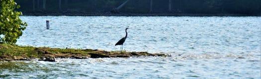 Shoreline panoramique Percy Priest Lake avec le grand héron bleu 2 photographie stock