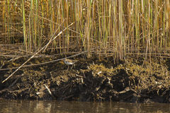 Shoreline with Reeds and Spotted Sandpiper Royalty Free Stock Image