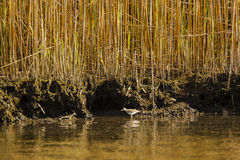 Shoreline, Reeds, and Wading Sandpiper Royalty Free Stock Images