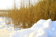 The shoreline of the river among the reeds, the ice on the river Royalty Free Stock Image