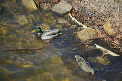 Shoreline Swimming Mallards Stock Images