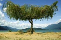 Shoreline Tree Overlooking Mountains. Very nice detailed symmetrical tree with beautiful color, ideal for travel advertisements. Taken at Harrison Hot Springs royalty free stock photography