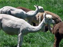 Shorn. Young alpacas, their coats recently shorn, in a field of grass royalty free stock photos