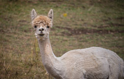 Shorn adult llama. A white llama, recently shorn, stares back at me Stock Images