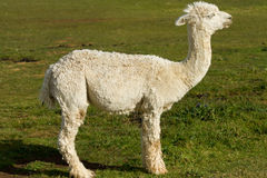 A shorn Alpaca in profile. A shorn white Alpaca in profile. An alpaca resembles a small llama in appearance and their wool is used for making knitted and woven Royalty Free Stock Images