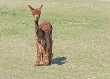 Shorn Brown Alpaca. Brown Alpaca that has just been shorn Stock Photos