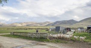 Shorn Merino sheep leave yard Stock Image