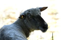 Shorn sheep. Close up of a satisfied sheep after the shearing Royalty Free Stock Photography