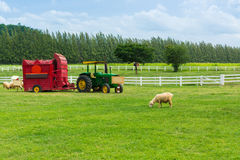 Shorn Sheep eating grass in grass field. Meadow with Vintage Straw Hay Baler tractor Royalty Free Stock Image