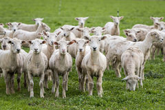 Shorn sheep. Flock of sheep that have just been shorn on green grass Stock Photography