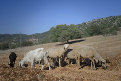 Shorn Sheep and Goats. Shorn Sheep Grazing in Dry Earth. Goats. Turkey. Mixed Kivircik Breed Royalty Free Stock Photography