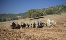 Shorn Sheep and Goats. Shorn Sheep Grazing in Dry Earth. Goats. Turkey. Mixed Kivircik Breed Royalty Free Stock Image