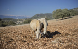 Shorn Sheep. Grazing in Dry Earth. Turkey Mixed Kivircik Breed Royalty Free Stock Images
