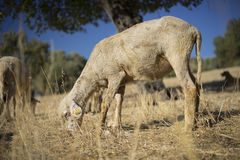 Shorn Sheep. Grazing in Dry Earth. Turkey Mixed Kivircik Breed Royalty Free Stock Photography